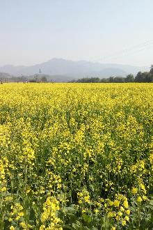 3月5号火山百亩油菜花,徒步丹霞腹地