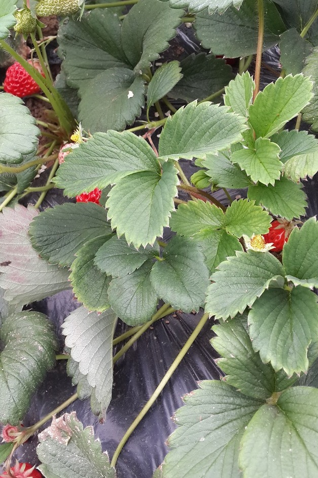 【活动召集】:清明节草莓自采活动[大连]