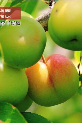从化溪头村农庄炒菜、果园摘果子