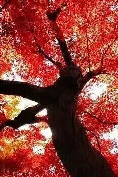 【周四红叶】26日最后一期-麻城向明看红叶吃吊锅