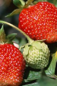 黄龙溪古镇+摘草莓一日