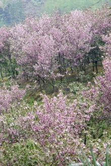 崇州赏樱花