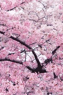 2月1日新丰广东最大樱花基地_樱花峪赏樱花