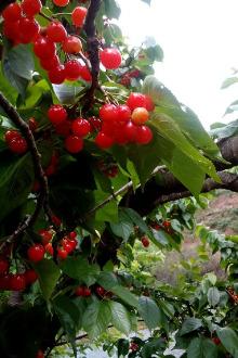 周六成都-樱桃沟休闲骑行吃樱桃