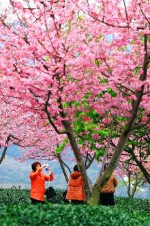 2月8日永福欢度樱花节一日游