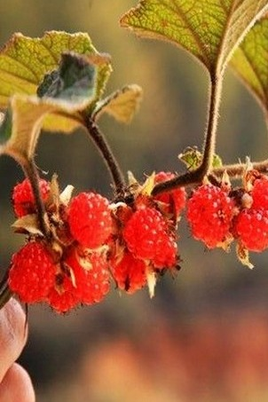 迎国庆  自驾摄影、赏相思树、采野莓果、品农家菜